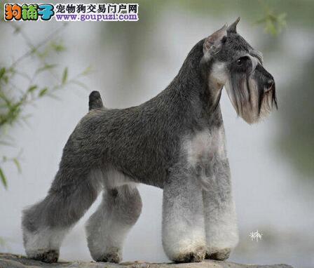 杭州魅力四射机警又活泼的迷你雪纳瑞宝宝出售 老头犬
