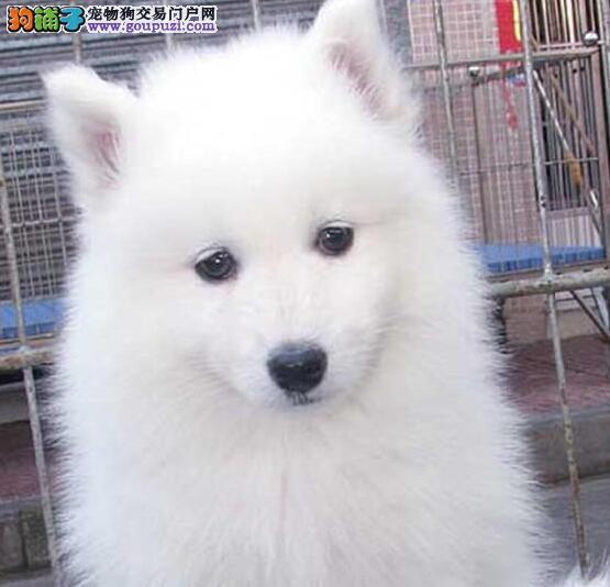 什么样的萨摩耶才是最理想的犬种