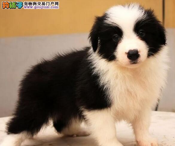重庆繁育边牧犬舍出售纯种双血统边境牧羊犬幼犬聪明