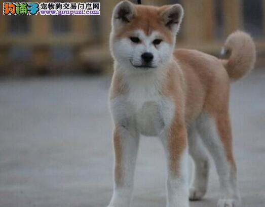 秋田犬突然站不起来了
