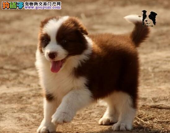重庆出售出售边境牧羊犬幼犬 健康纯种边境幼犬