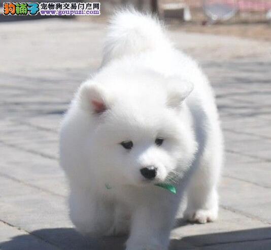 太原实体狗场直销雪白色萨摩耶幼犬 终身免费售后