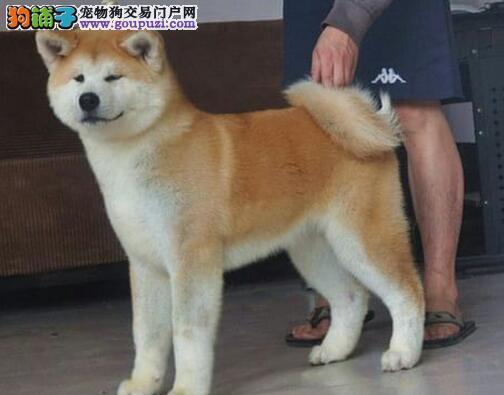 秋田犬突然呼吸急促喘不过气是怎么回事