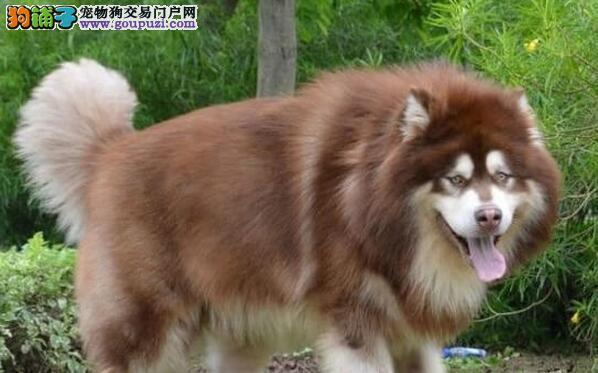 出售精品纯种阿拉斯加雪橇犬 欢迎来深圳犬舍实地考察