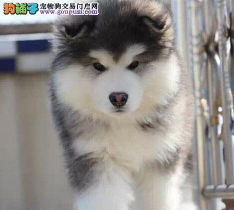 优惠出售纯种阿拉斯加雪橇犬