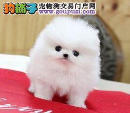 转让超高品质的南京博美犬 哈多利球形血系 签协议
