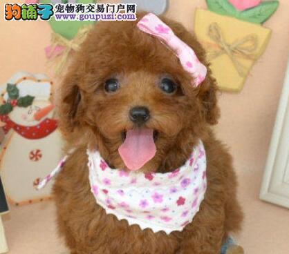 乌鲁木齐自家繁殖泰迪犬出售中公母都有保证血统
