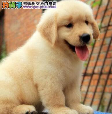 高端金毛幼犬,顶级品质专业繁殖,质保健康90天