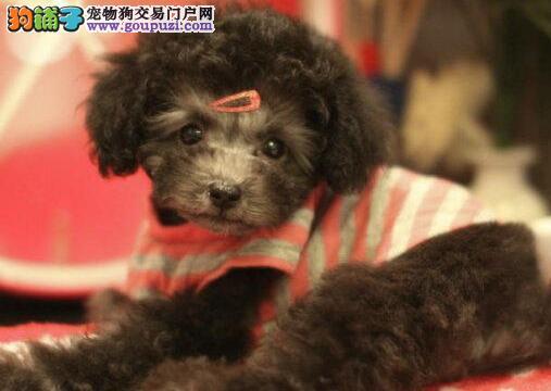 出售赛级纯种贵宾幼犬 疫苗驱虫已做完 保纯正保健康