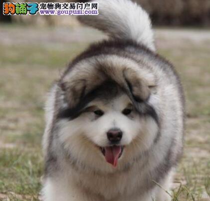 上海直销阿拉价格好商量 买阿拉斯加犬签协议保障