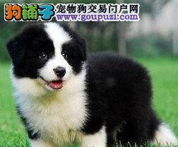 北京售边境牧羊犬纯种边牧公母全有幼犬