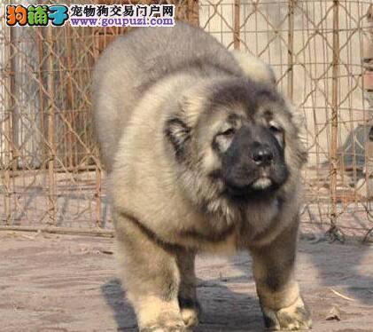 专业繁殖基地出售纯种巨型南京高加索幼犬 保血统健康