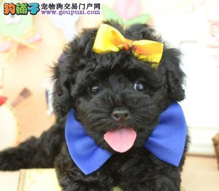 朝阳售泰迪犬 卷毛犬小贵宾茶杯犬母犬幼犬2