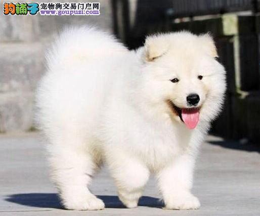 贵阳繁育出售赛级萨摩耶犬 健康品质有保障可退换
