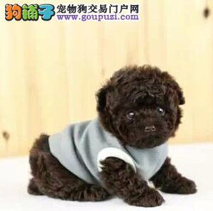 上海养殖场直销贵宾犬泰迪犬无异味不掉毛包健康送用品