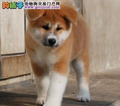 厦门售日系秋田犬 纯种秋田疫苗驱虫已做 可视频看狗