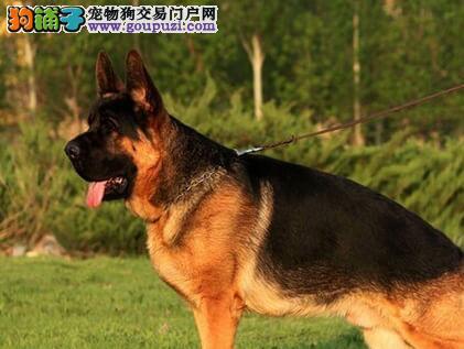 专业正规犬舍热卖优秀银川德国牧羊犬可签订活体销售协议