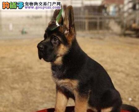 贵阳自家养殖纯种德国牧羊犬低价出售实物拍摄直接视频