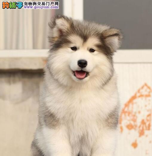 犬舍直销高品质苏州阿拉斯加雪橇犬驱虫已做包养活
