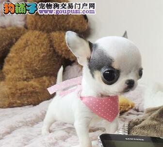 达州专业繁殖茶杯体吉娃娃优质吉娃娃幼犬转让品相好