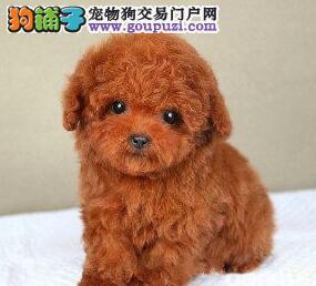 纯种贵宾犬 公母均有 色样犬 上海周边可以送上门