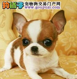 体形超小品相超棒的广州吉娃娃幼犬出售 保证健康纯种