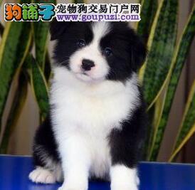 自家繁殖边境牧羊犬出售太原市区可上门看狗4
