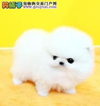 铜川精品高品质博美犬宝宝热销中多种血统供选购