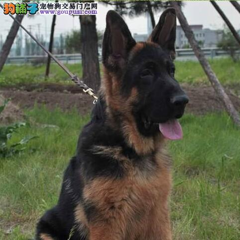 超高品质的南宁德国牧羊犬找新家 看家护院的好帮手