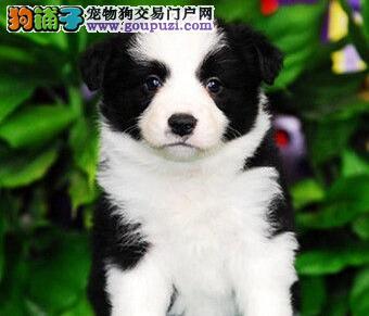 自家繁殖边境牧羊犬出售太原市区可上门看狗3