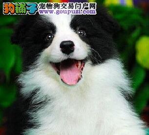 自家繁殖边境牧羊犬出售太原市区可上门看狗2