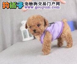 优惠促销血统纯正贵宾犬宁波地区可上门购犬