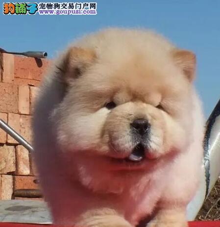 荆州专业繁殖纯种松狮犬疫苗证书齐全 签署售后签协议