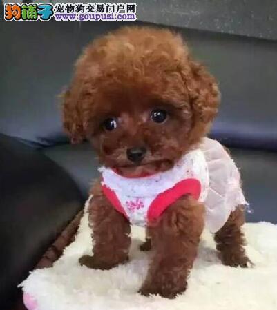 小泰迪 贵宾犬幼犬 卷毛贵妇犬三针齐全北京崇文区售