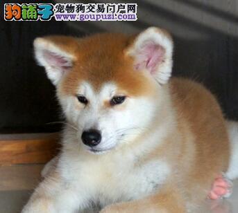兰州售日系秋田 秋田犬 公母全有已驱虫 15天可退货