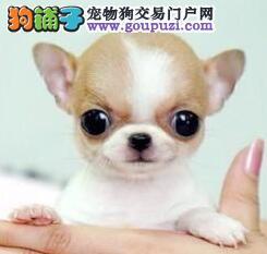 曲靖高品质超小体纯种墨西哥苹果头茶杯体吉娃娃幼犬
