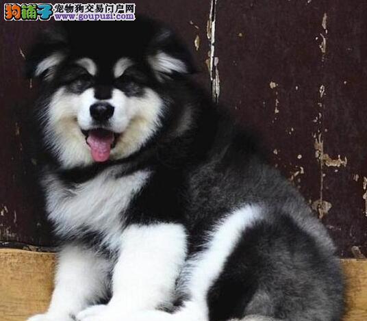 """赛级血统的汕头阿拉斯加犬找新家 承诺售后""""三包"""""""