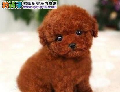 成都售韩国引进茶杯体型小泰迪 小贵宾犬 颜色齐全
