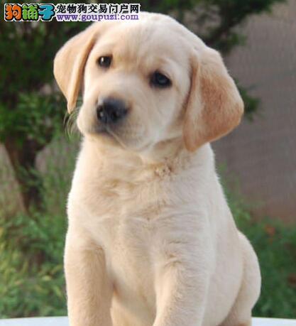 骨架大温顺聪明 导盲犬拉布拉多幼犬焦作出售 保证品质
