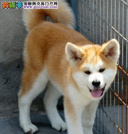 厦门犬舍常年直销日系秋田犬 签协议终身免费售后服务