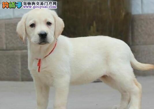 家养多只极品苏州拉布拉多犬出售质量保证