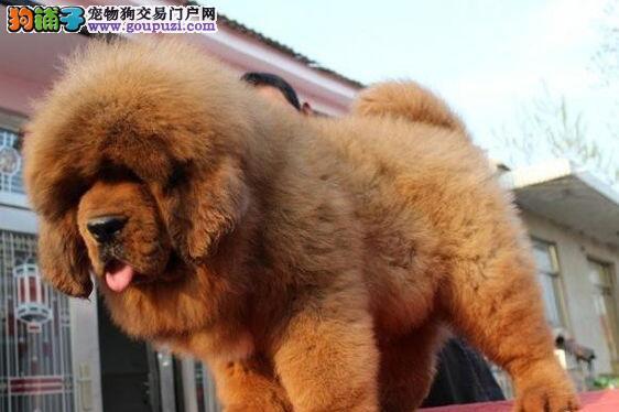 出售自家繁育优品质狮头藏獒宝宝