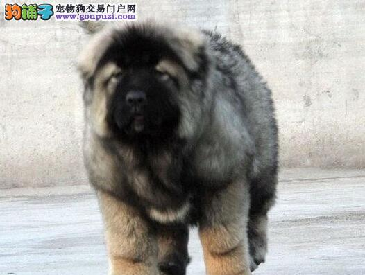 黄浦出售大骨架 优质高加索犬 纯种保健康