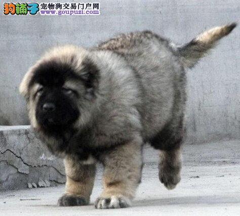 权威机构认证犬舍 专业培育高加索幼犬终身售后保障