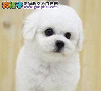出售黑鼻头纽扣眼卷毛比熊宝宝 购买有保障 可视频看狗
