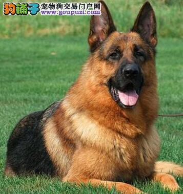 南昌犬舍热卖赛级品质德国牧羊犬质量保证