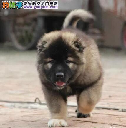 昆明正规基地转让高加索犬购买可办理血统证书