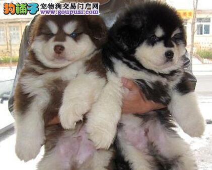极品优秀品质阿拉斯加雪橇犬郑州犬舍低价出售中