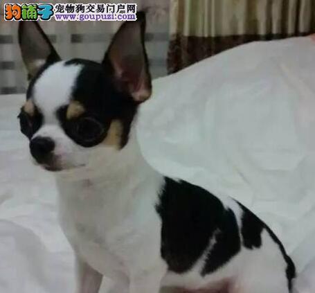 沈阳自家狗场出售苹果头吉娃娃 所有犬只均可保证健康