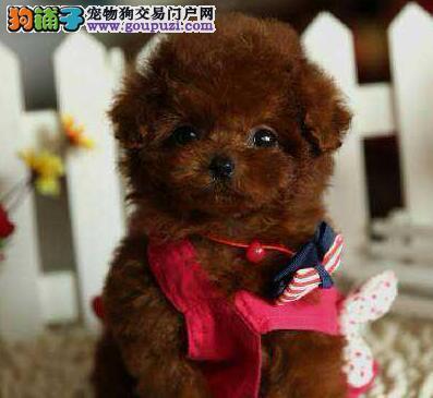 专业正规犬舍热卖优秀榆林泰迪犬签订协议包细小犬瘟热